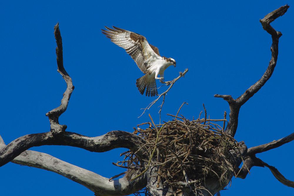 Fischadler (Osprey)