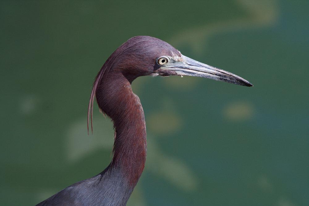 Blauer Reiher (Blue Heron)